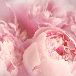 Fototapet Rosa blomma MIDAL