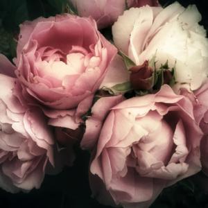 Fototapet dekor med rosor MIDAL
